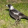 Australian magpie (Gymnorhina tibicen). Brisbane, Australia.