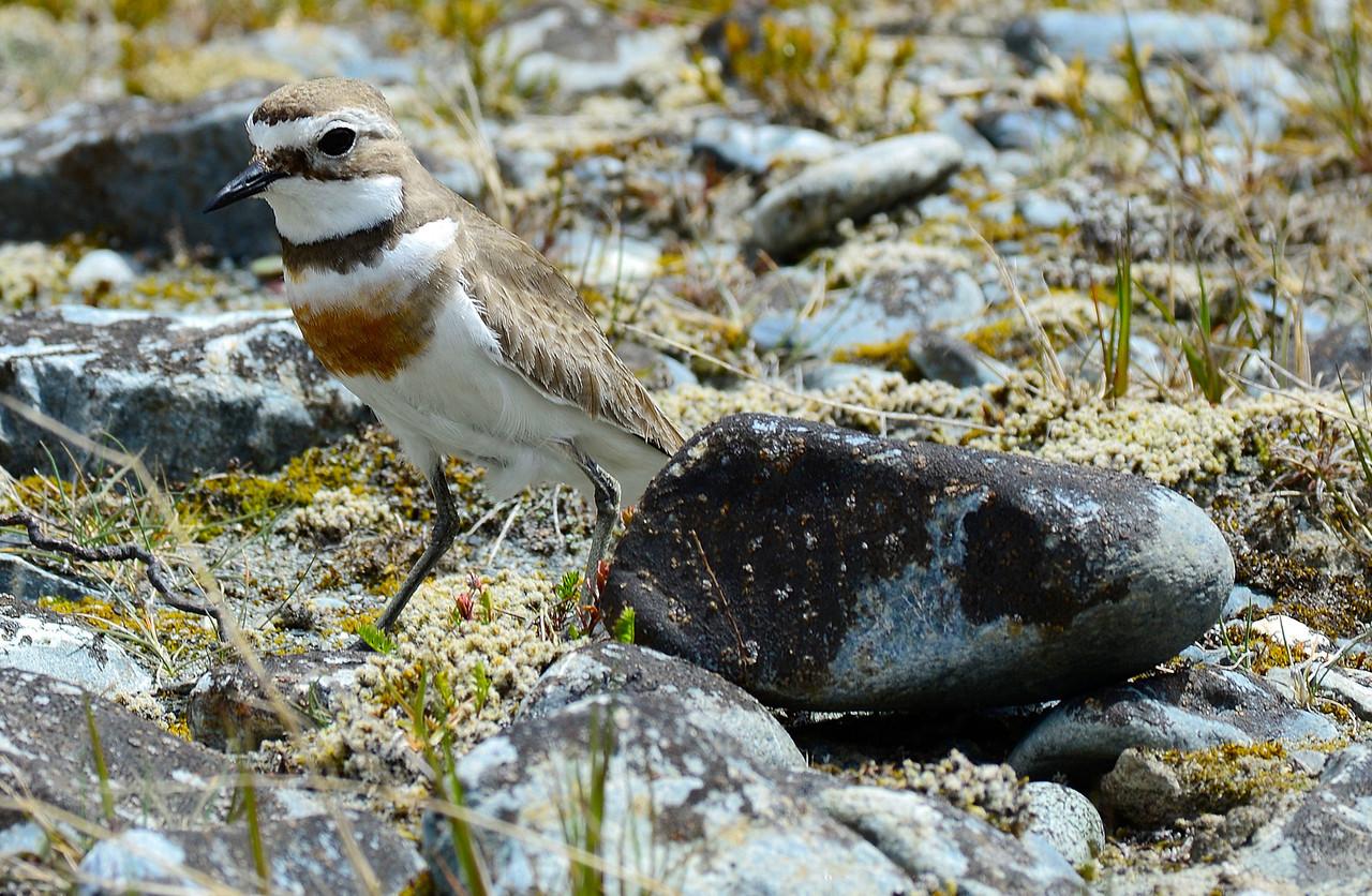 Banded dotterel / tūturiwhatu (Charadrius bicinctus) guarding its nest, Ahuriri river bed.