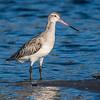 Bar-tailed godwit / kuaka (Limosa lapponica). Rototai Reserve, Takaka.