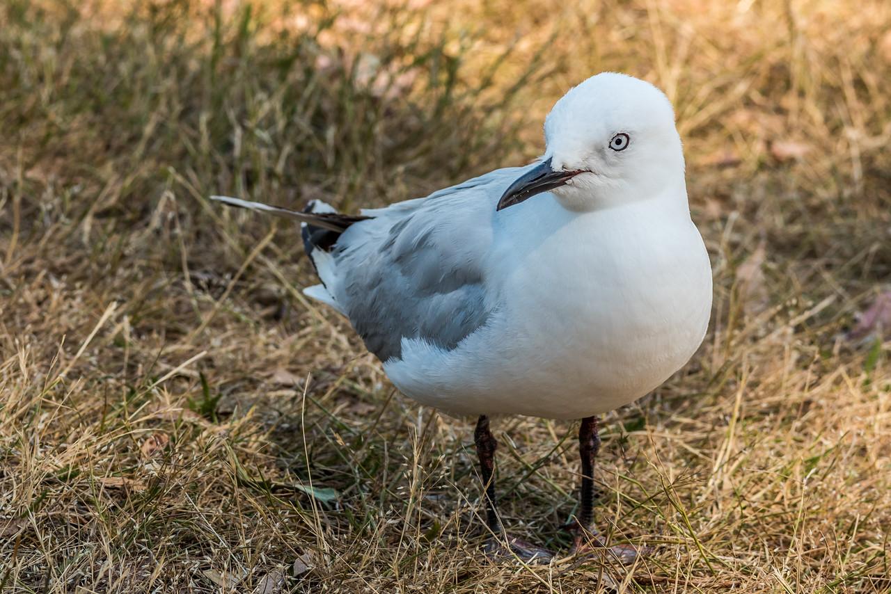 Black-billed gull / tarāpunga (Larus bulleri). Lake Te Anau waterfront.