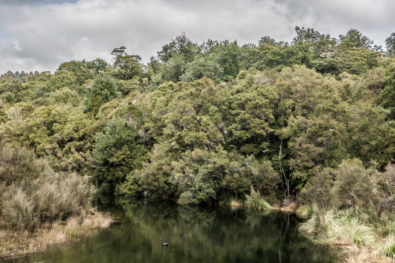 Black swan / kakī ānau (Cygnus atratus). Korokoroowhaitiri Stream, Lake Waikaremoana, Te Urewera National Park.