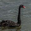Black swan / kakī ānau (Cygnus atratus). Papanui Inlet, Otago Peninsula