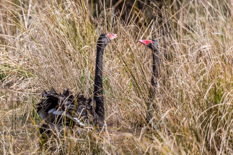 Black swan / kakī ānau (Cygnus atratus) courtship display. Te Wharau Stream estuary, Lake Waikaremoana, Te Urewera National Park.