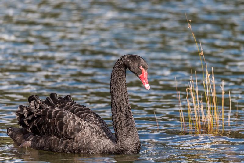 Black swan / kakī ānau (Cygnus atratus). Te Wharau Stream estuary, Lake Waikaremoana, Te Urewera National Park.