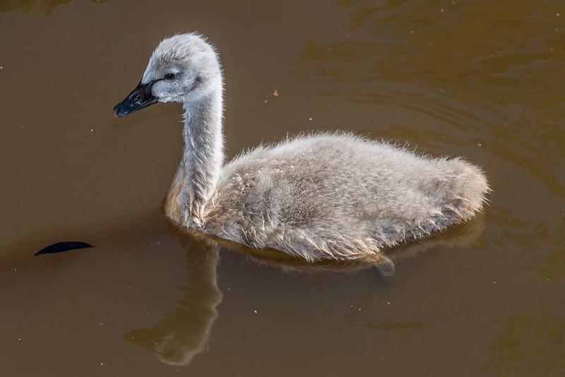 Black swan / kakī ānau (Cygnus atratus). Travis Wetland, Christchurch.