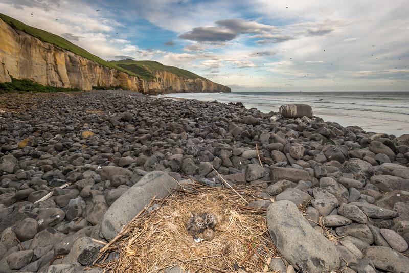 Southern black-backed gull / karoro (Larus dominicanus) nest with chicks