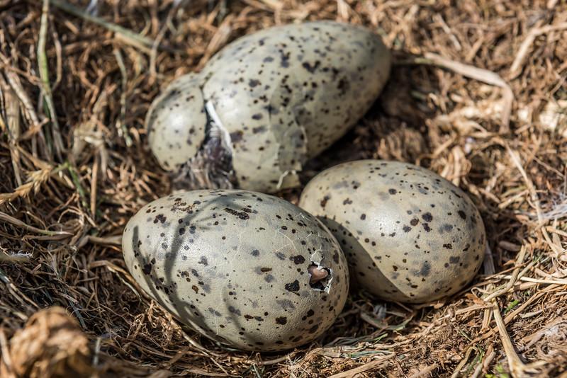 Black-backed gull / karoro (Larus dominicanus) eggs in the process of hatching. Dunedin