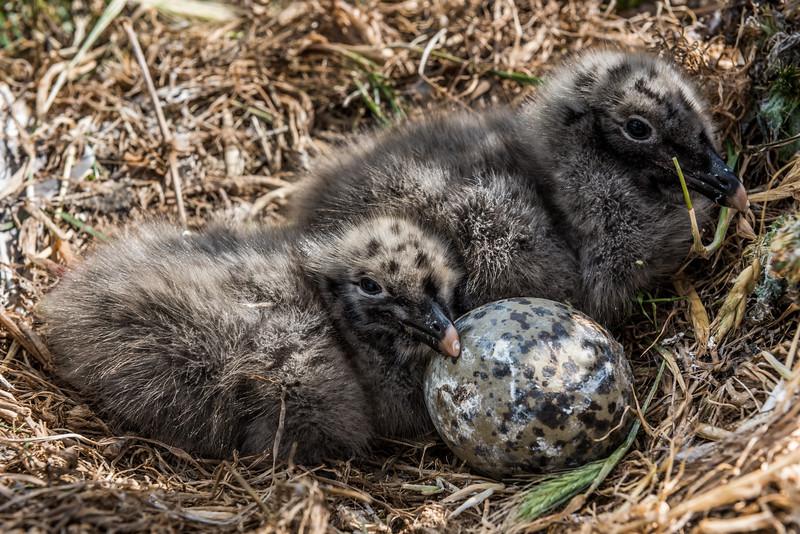 Black-backed gull / karoro (Larus dominicanus) chicks in nest. Dunedin