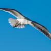 Black-backed gull / karoro (Larus dominicanus) in flight. Heyward Point, Dunedin.