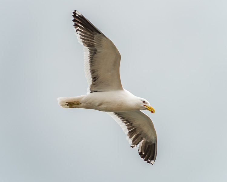 Black-backed gull / karoro (Larus dominicanus). Te Whenuhau / Red Bluff. Petre Bay, Chatham Island.