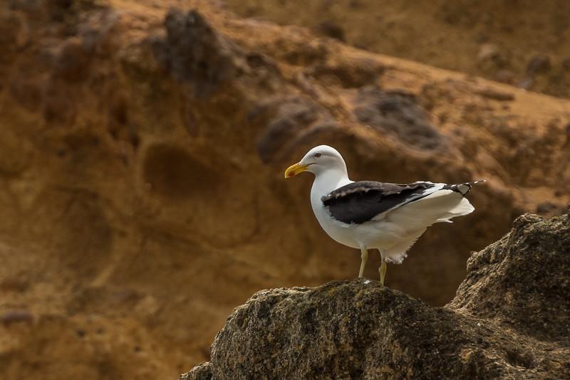 Black-backed gull / karoro (Larus dominicanus). Te Whenuhau / Red Bluff. Petre Bay, Chatham Island.