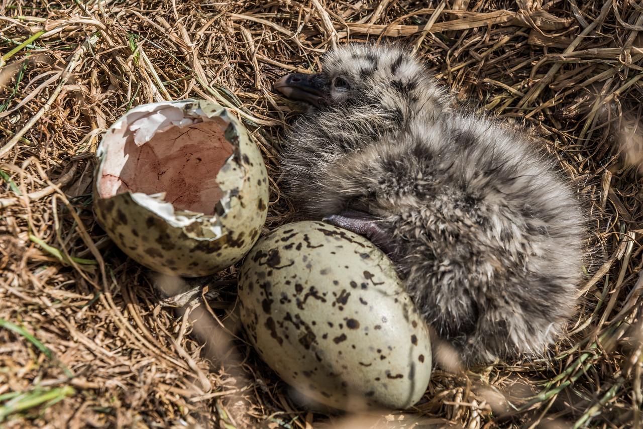 Black-backed gull / karoro (Larus dominicanus) chick in nest. Dunedin