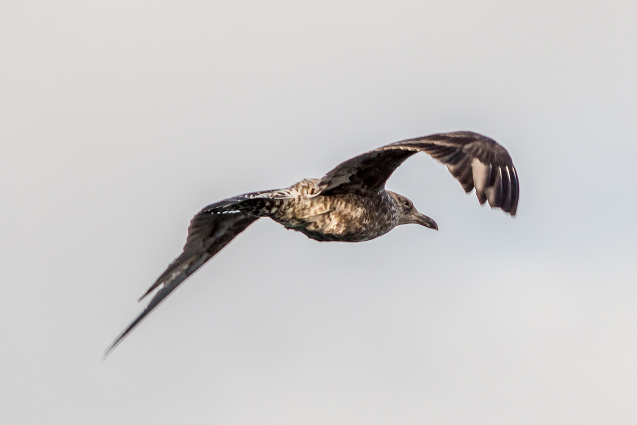 Juvenile black-backed gull / karoro (Larus dominicanus). Taiaroa Head.