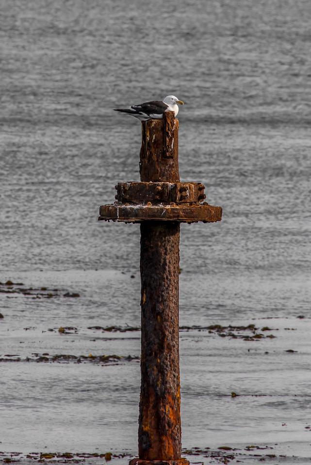 Black-backed gull (Larus dominicanus), Aramoana