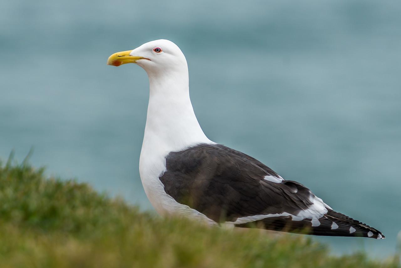 Black-backed gull / karoro (Larus dominicanus). Dunedin