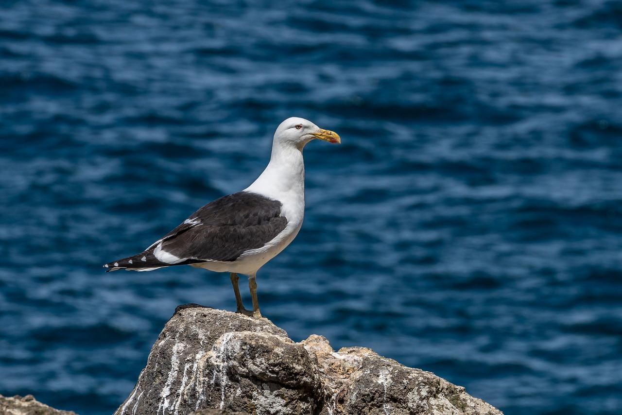 Black-backed gull / karoro (Larus dominicanus). Puddingstone Rock, Otago Peninsula