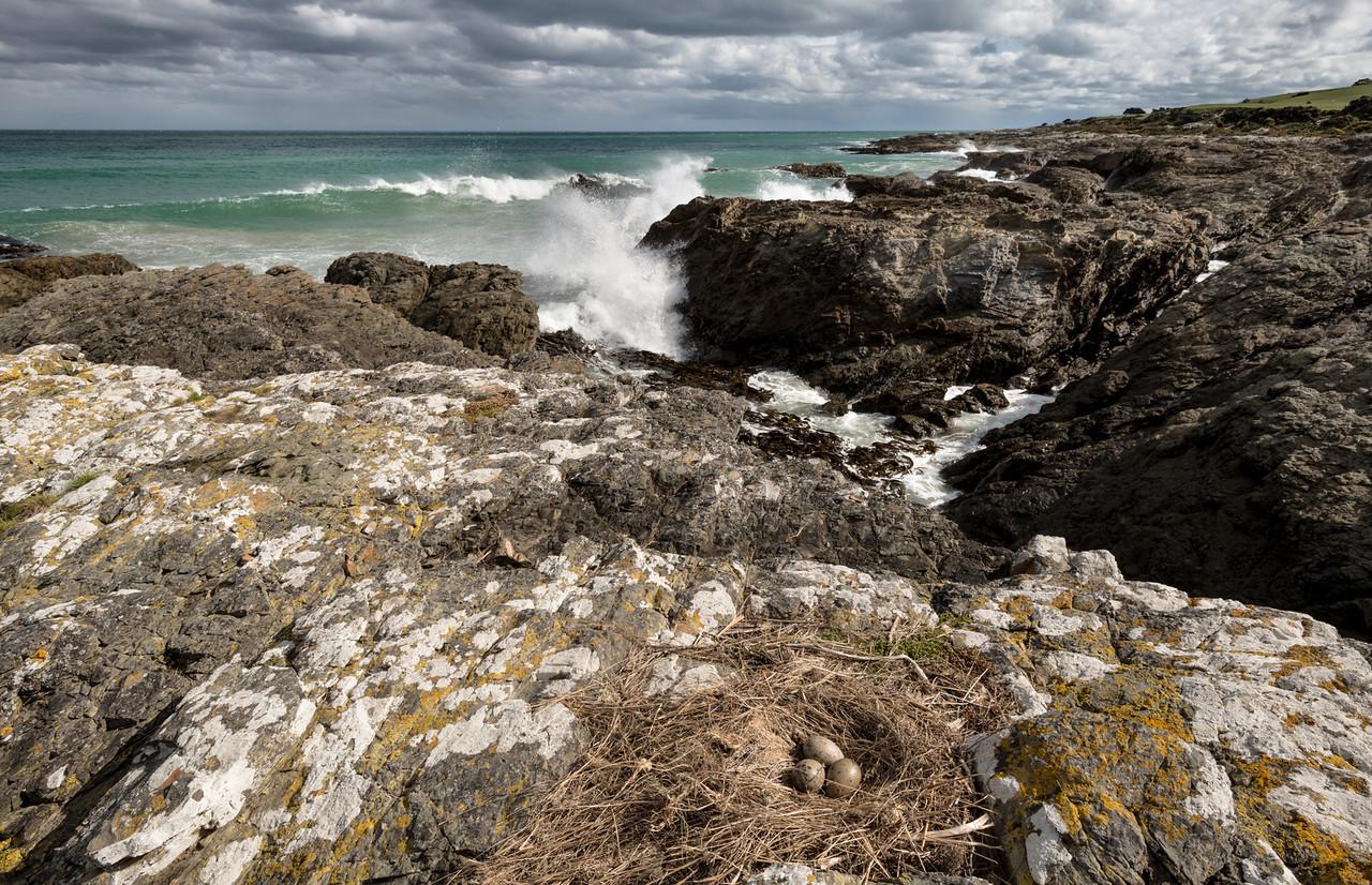 Black-backed gull / karoro (Larus dominicanus) nest. Watsons Beach