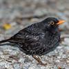 Blackbird (Turdus merula). Marahau