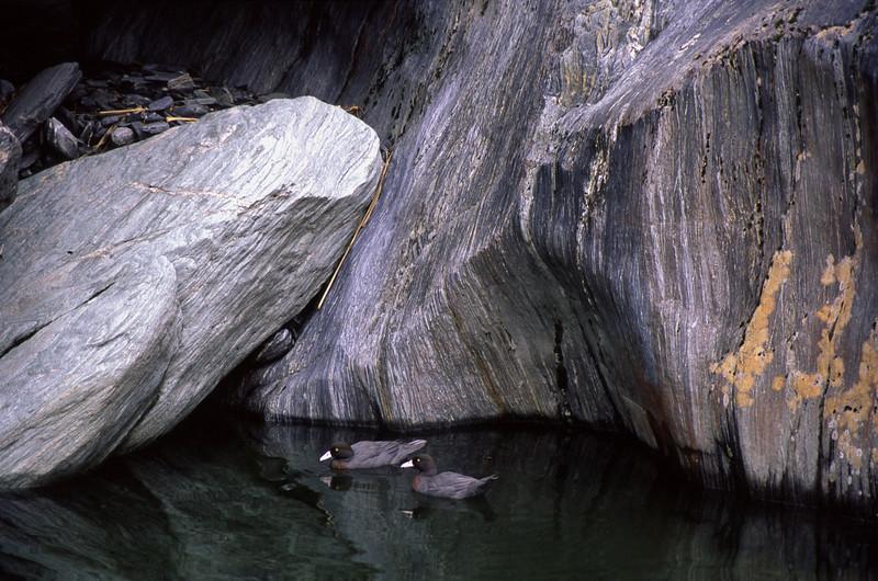 Blue duck (Hymenolaimus malacorhynchos). County Stream, Westland