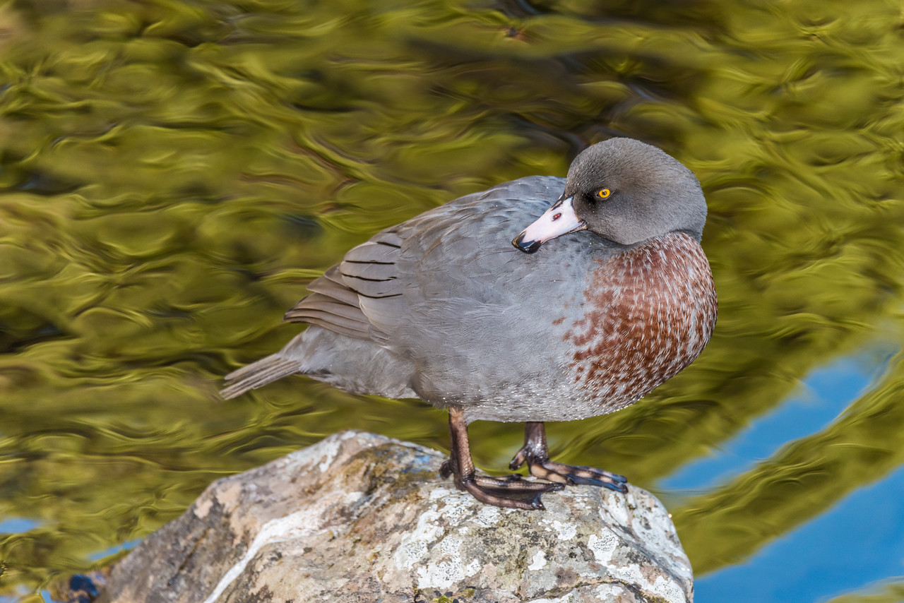 Blue duck / whio (Hymenolaimus malacorhynchos). Cave Brook, Gouland Downs, Kahurangi National Park.