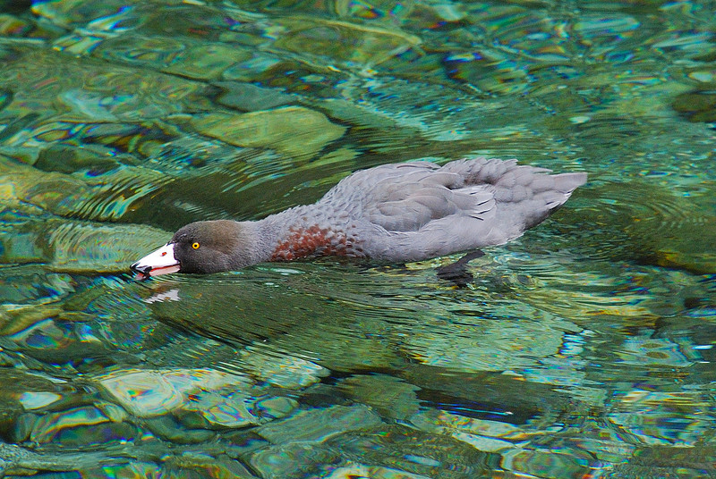 Whio or Blue Duck (Hymenolaimus malacorhynchos), Castle River
