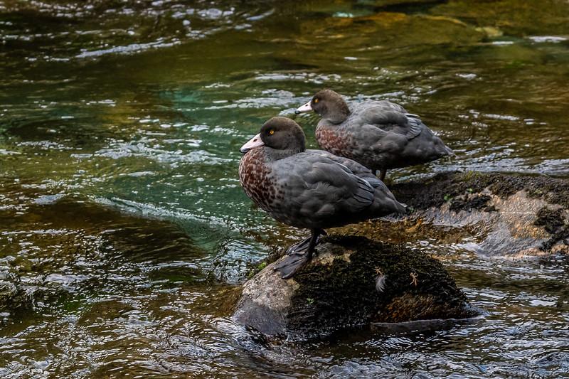 Blue duck / whio (Hymenolaimus malacorhynchos). Harrison River, Fiordland National Park.