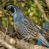 California quail (Callipepla californica). Marahau