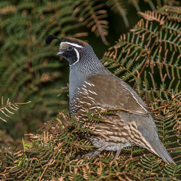 California quail (Callipepla californica). Whariwharangi Bay, Abel Tasman National Park.