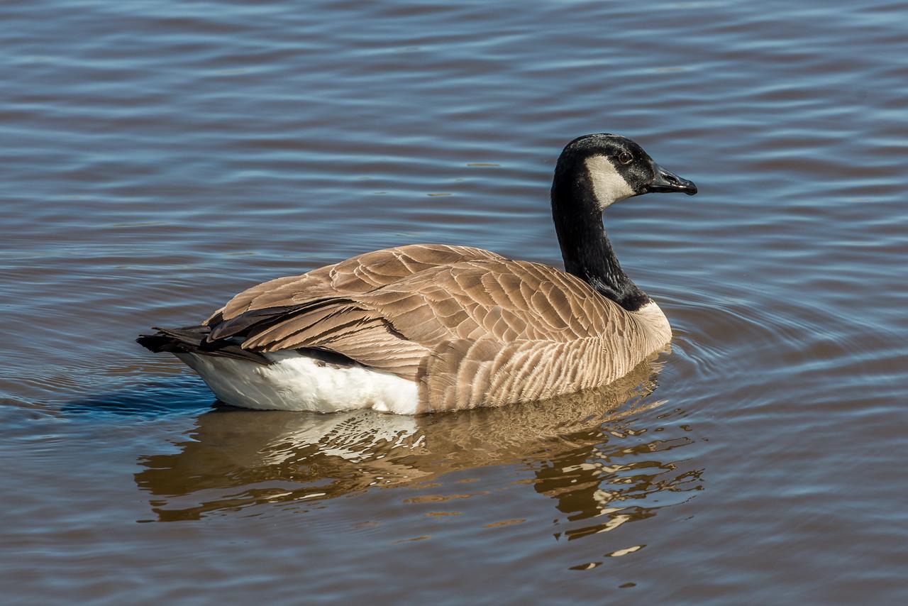 Canada goose (Branta canadensis). Travis Wetland, Christchurch.