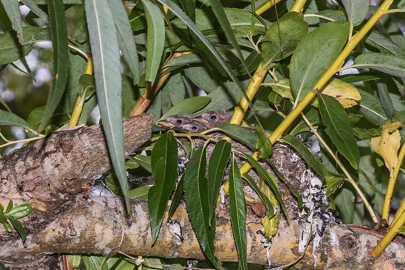 Chaffinch (Fringilla coelebs) nest in crack willow tree (Salix fragilis). Matukituki River West Branch.