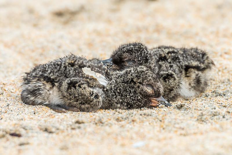Chatham Island oystercatcher / tōrea tai (Haematopus chathamensis) chicks. Petre Bay, Chatham Island.