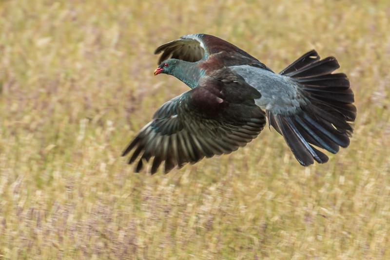 Chatham Island pigeon / parea (Hemiphaga chathamensis). Taiko Camp, Chatham Island.