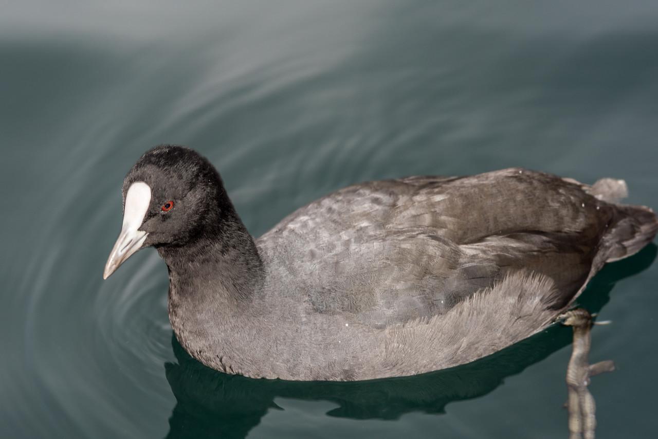 Australian coot (Fulica atra). Lake Ruataniwha