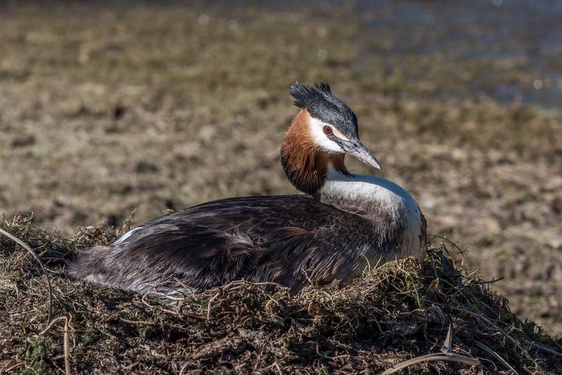 Crested grebe / pūteketeke (Podiceps cristatus). Lake Lyndon, Canterbury.