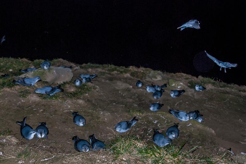 Fairy prion / tītī wainui (Pachyptila turtur). St Clair, Dunedin