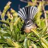 New Zealand fantail (Rhipidura fuliginosa). Allans Beach, Otago Peninsula.