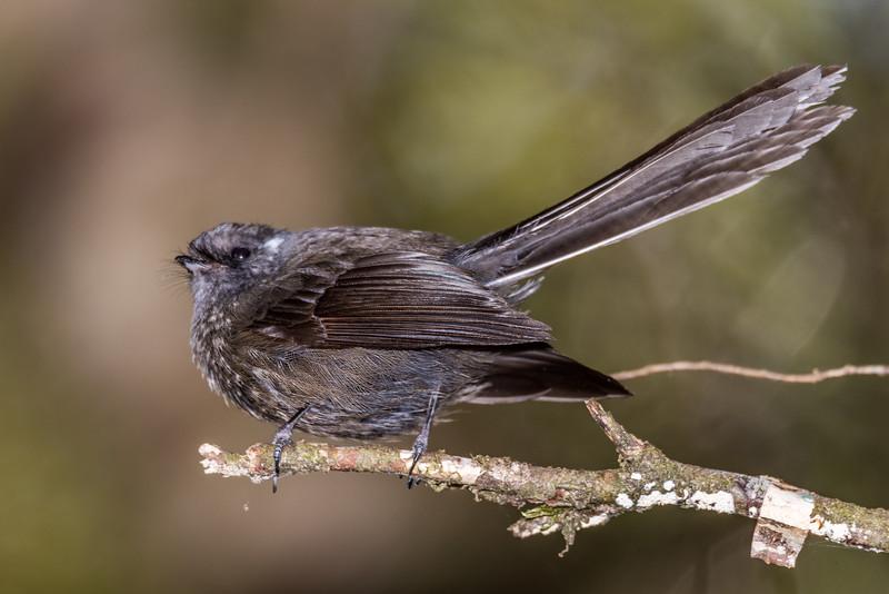 Fantail / pīwakawaka (Rhipidura fuliginosa). Thisbe Stream, Catlins Forest.