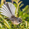 New Zealand fantail (Rhipidura fuliginosa). Allans Beach, Otago Peninsula.