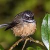 Fantail / pīwakawaka (Rhipidura fuliginosa). Waiharuru Hut, Lake Waikaremoana, Te Urewera National Park.