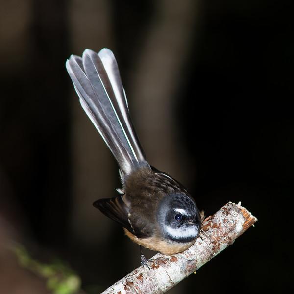 Fantail or pīwakawaka (Rhipidura fuliginosa), Lake Monowai