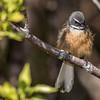 Fantail / pīwakawaka (Rhipidura fuliginosa). Perry Saddle, Heaphy Track, Kahurangi National Park.