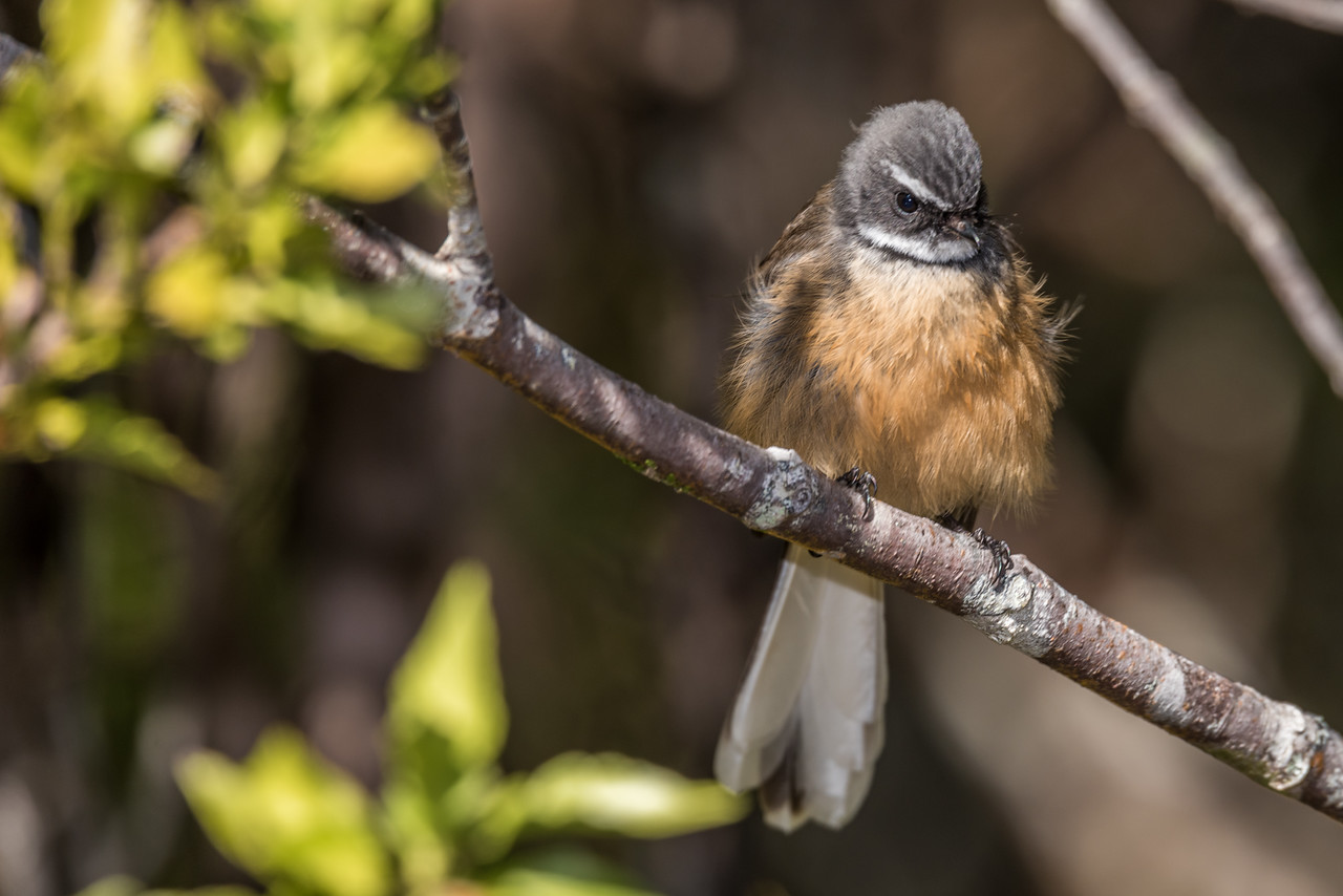 Fantail / pīwakawaka (Rhipidura fuliginosa). Perry Saddle, Heaphy Track, Kahurangi National Park.