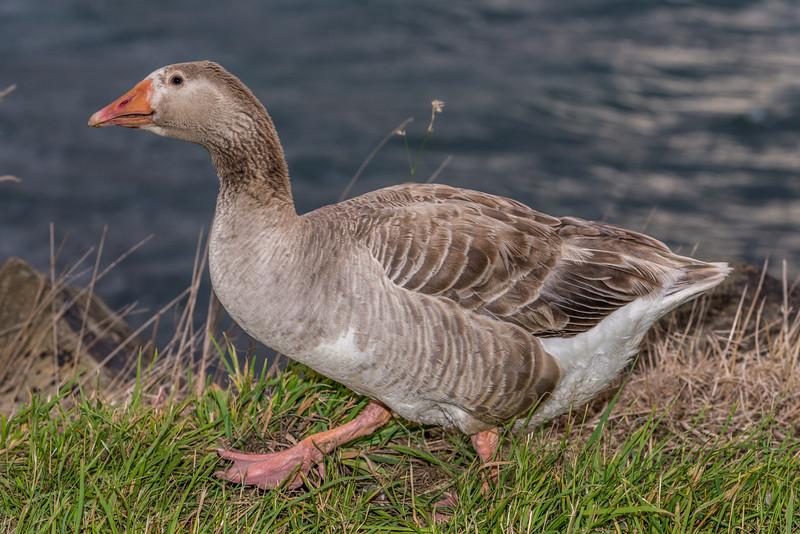 Male feral goose (Anser anser), Otago Harbour