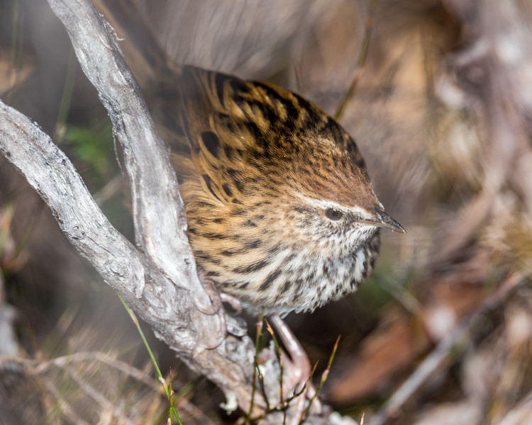 Fernbird / mātātā (Bowdleria punctata). Gouland Downs, Heaphy Track, Kahurangi National Park.