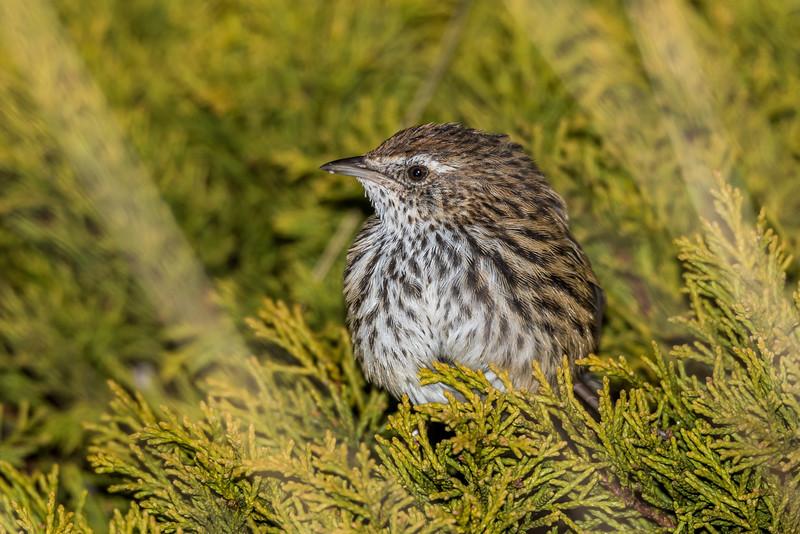 Fernbird / mātātā (Bowdleria punctata). Saxon Hut, Heaphy Track, Kahurangi National Park.