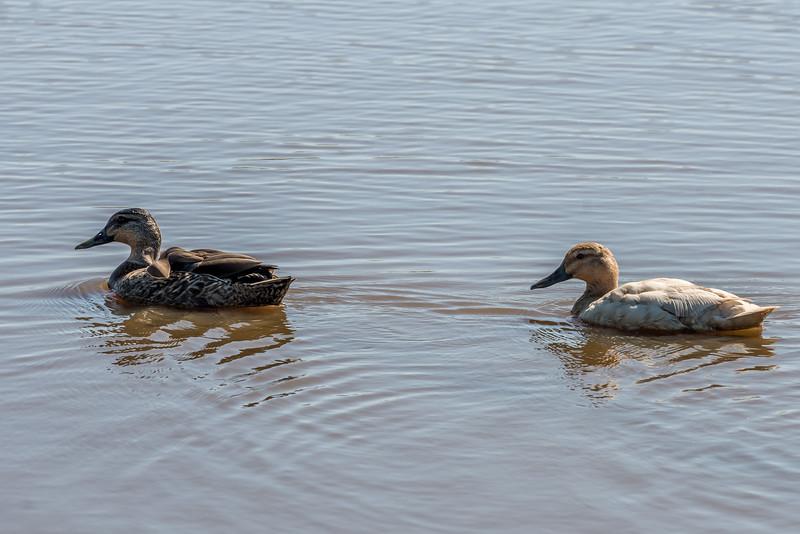 Grey duck / pārera (Anas superciliosa). Travis Wetland, Christchurch.