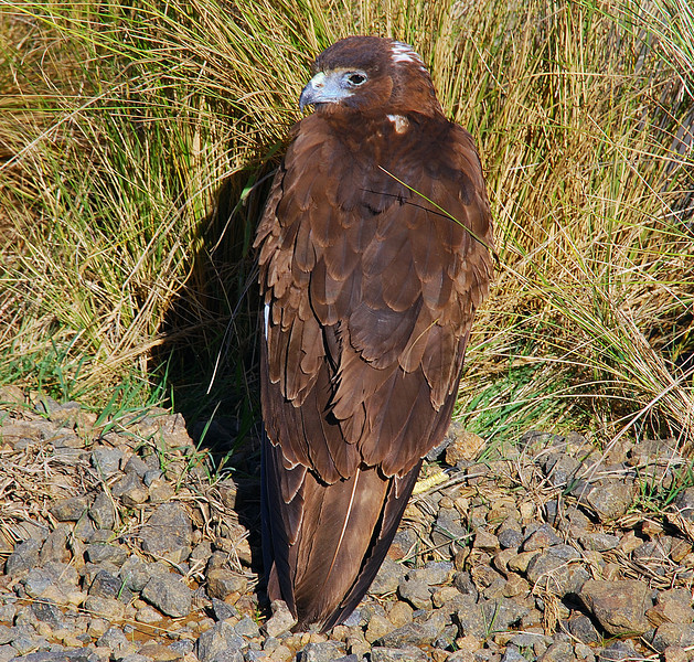 Juvenile Australasian harrier (Circus approximans)