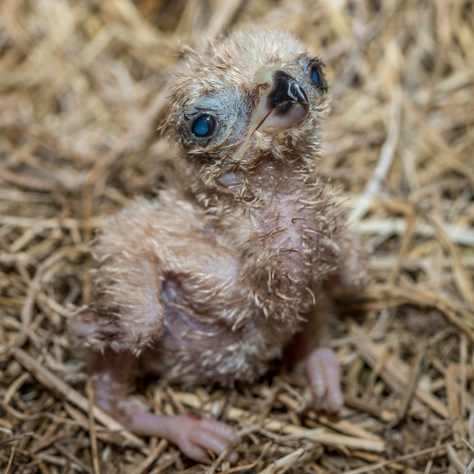 Australasian harrier / kāhu (Circus approximans) 1-day old chick. Okia, Otago Peninsula