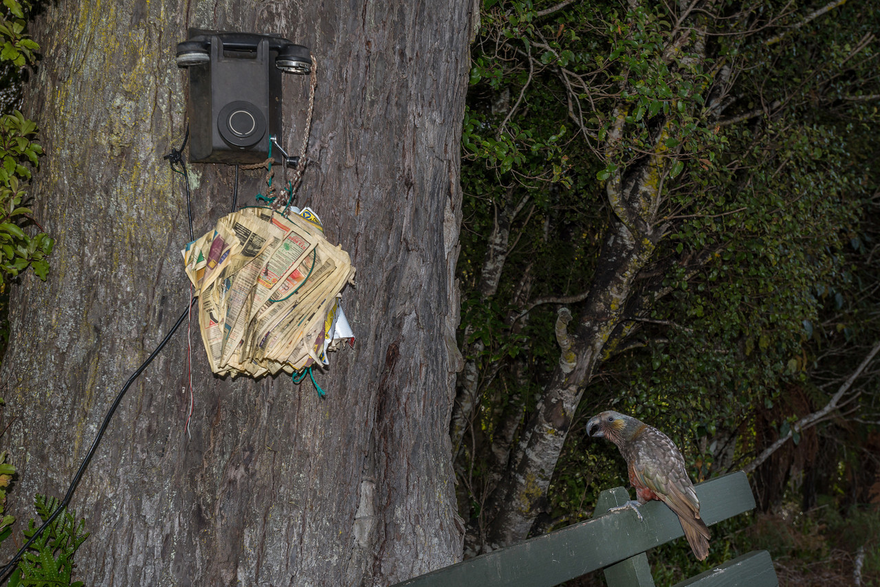 Kākā (nestor meridionalis) and bush telephone. Horseshoe Bay Road, Halfmoon Bay