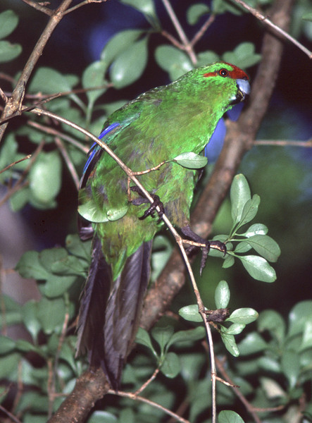Red-crowned parakeet (Cyanoramphus novaezelandiae), Ulva Island